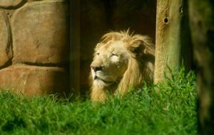 Leões do Parque Beto Carrero são atendidos no ZooCare